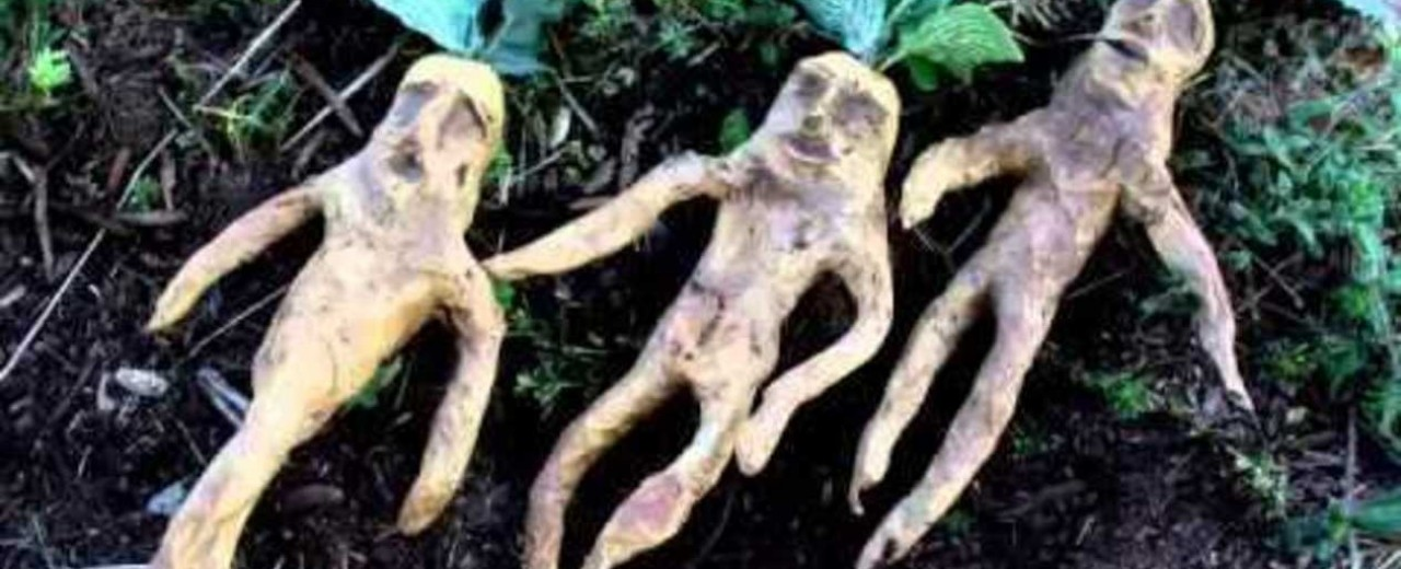 The Magical Properties of the Mandrake Root